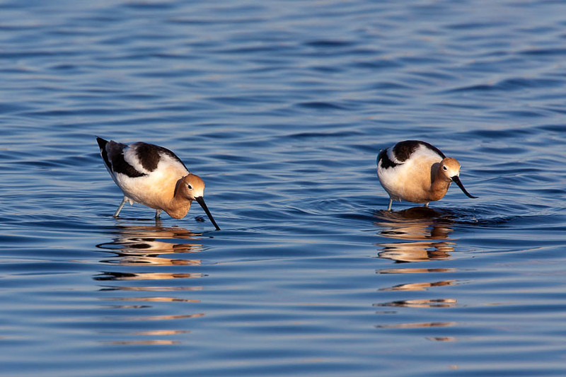 American Avocet, Malheur National Wildlife Refuge, Oregon