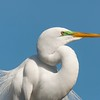 The Breeding Colors of the Great Egret