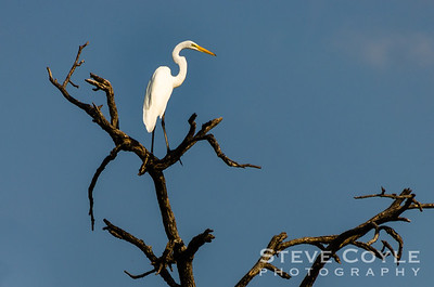 Elusive Egret
