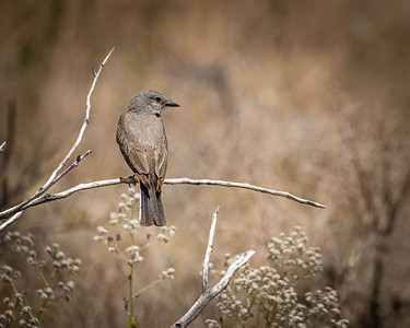Western Kingbird 8305