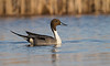 Northern Pintail - March 2013 - Ohio