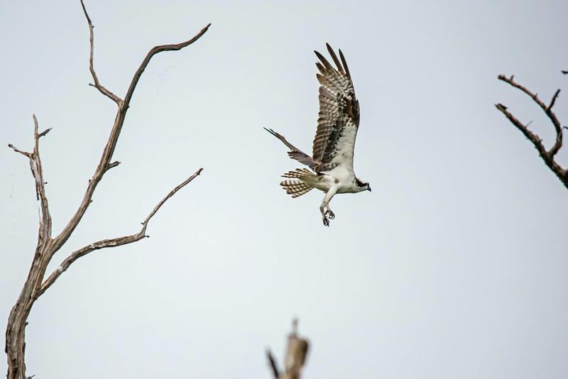 Osprey, Prime Hook NWR, 8-1-14