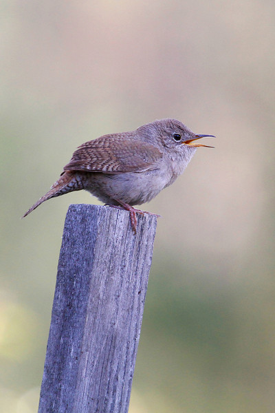 Male Wren Singing His Song