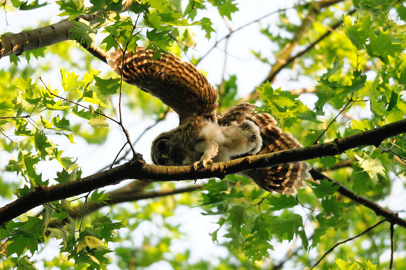 Barred owlet precariously balanced<br /> Fairfax County, Virginia