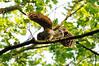 Barred owlet precariously balanced<br /> Fairfax County, Virginia