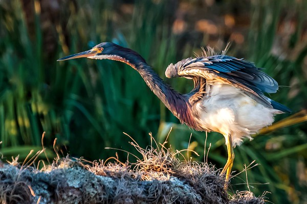 Tricolored Heron in Breeding Plumage Checking out the Competition