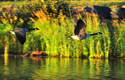 Birds, Canada, Geese, Nature, Green, Photography, Landscape, 590