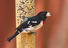 Rose-breasted Grosbeak Pheucticus ludovicianus