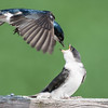 Tree Swallow feeding young,