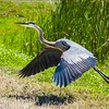 Great Blue Ready for Takeoff
