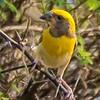 Weaver Bird 1