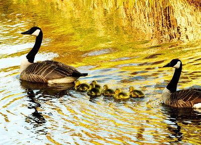 Goose Family out for a Swim