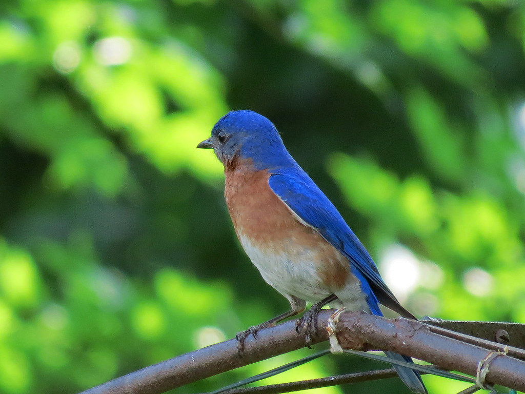 Bluebird sitting on the arbor.