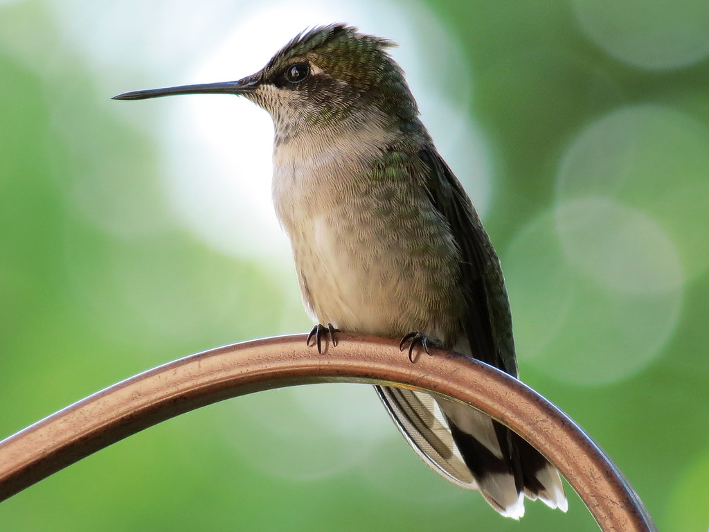 Ruby-Throated Hummingbird sitting on Becky's flower cart.