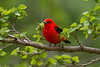 Scarlet Tanager - May 2014
