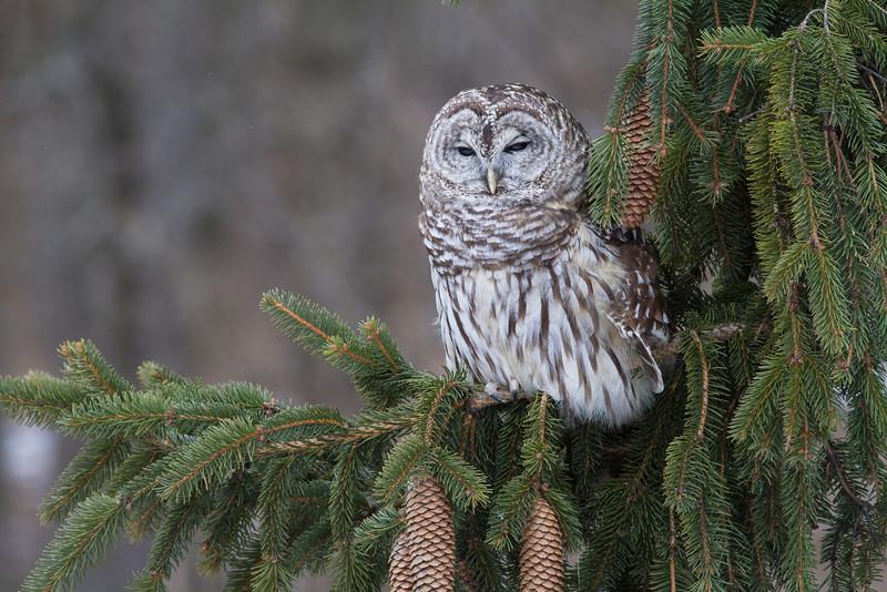 Barred Owl - February 2013