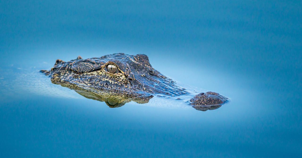 Blue gator head