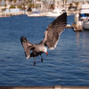Heerman's Gull at Alamitos Bay - 26 Nov 2010
