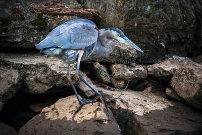 Juvenile Great Blue Heron