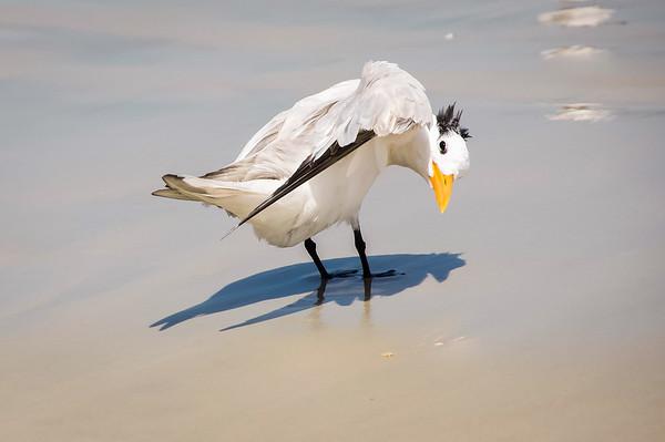 Royal Tern Preening