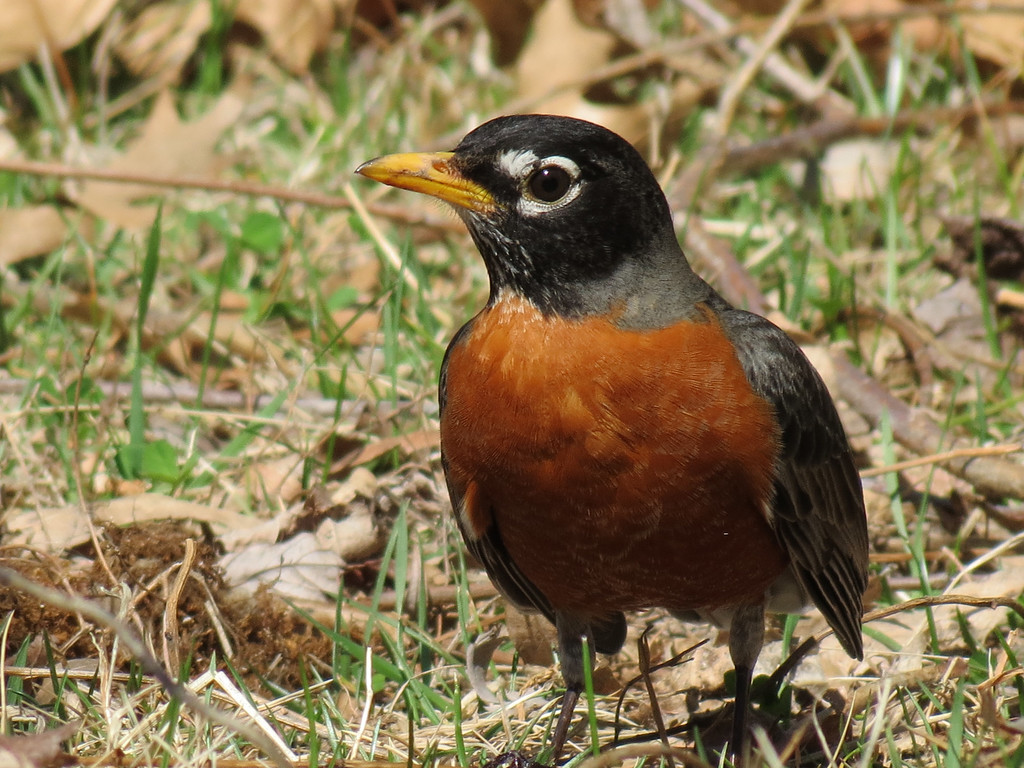 Sweet little Robin ...