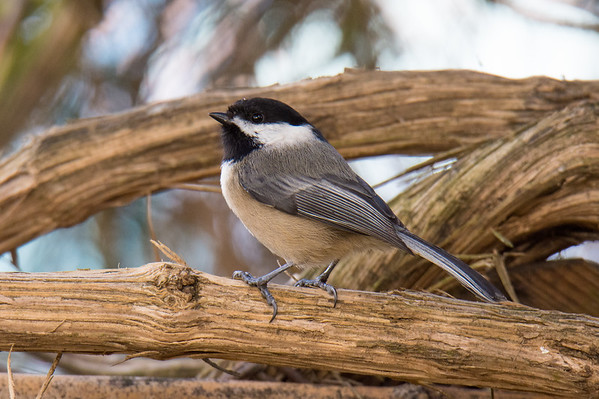 White Capped Chickadee - Willamette University 2016
