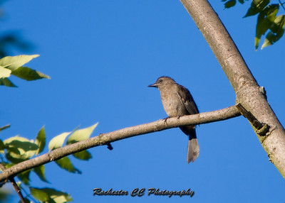 Catbird in the Spring at Black Creek Park