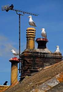 Gulls perched on chimney caps - Mousehole, England