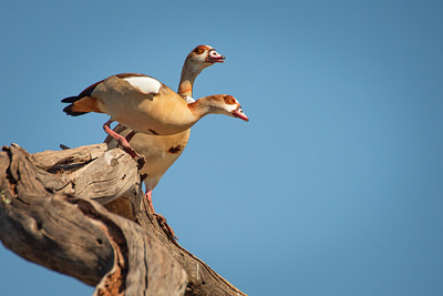 Egyptian Geese 1393