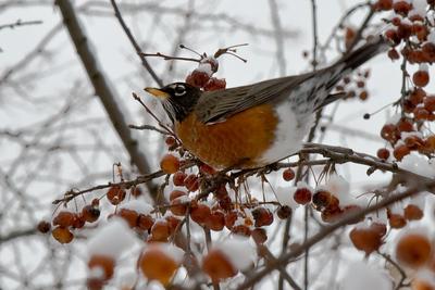 Robin and Snow, Cambridge, MA 600pix-9963