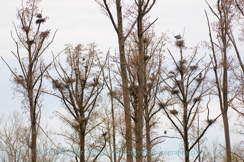 Great Blue Heron nests surrounding a Bald Eagle's nest
