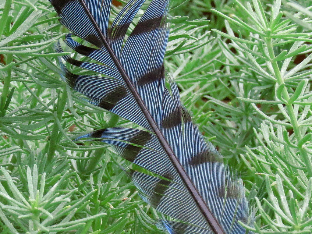 Bluejay feather in the Lotus flower.