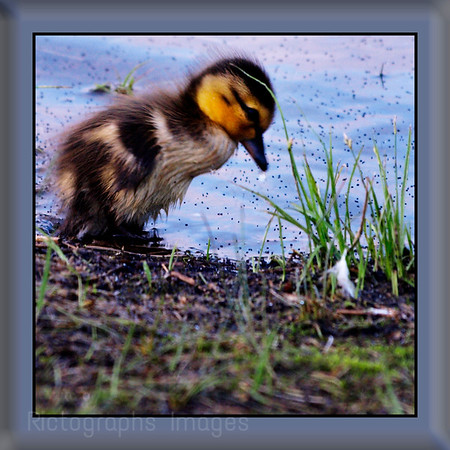 Lonely Baby Duck