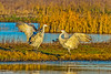 Sandhill Cranes in Central Valley 1-2012 #05