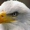 Bald Eagle at Mounstberg Wildlife Center in Halton Region, Ontario, Canada<br /> It is a center for rehabilitation of raptors (birds of prey) who have been injured in one way or another.