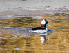 Bufflehead at Klamath 1-07 #3