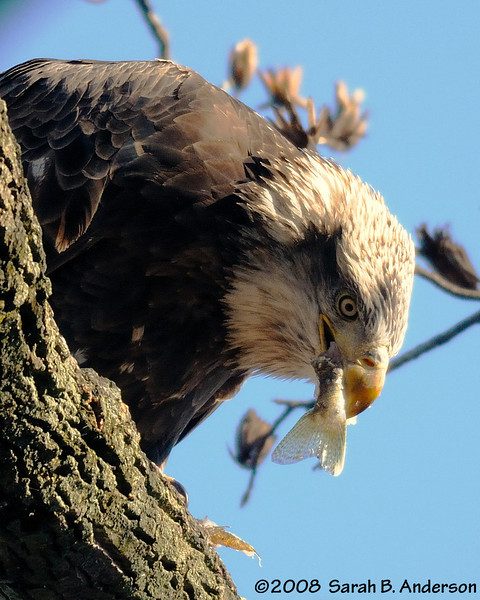 Bald Eagle saves the fish tail for last.<br /> near Conowingo Dam<br /> Susquehanna River, Maryland<br /> November 2008