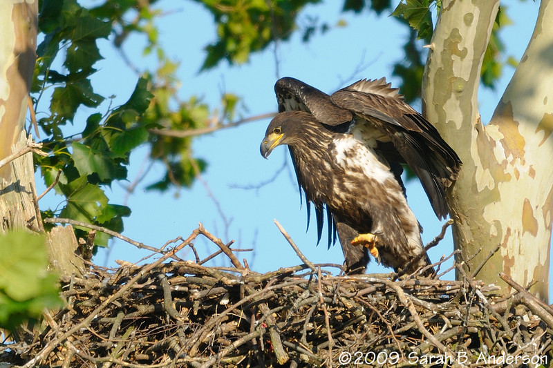 juvenile Bald Eagle (approximately 2 months old) testing its wings<br /> taken with the Nikon 1.4 teleconverter<br /> <br /> Montgomery County, Maryland<br /> June 2009