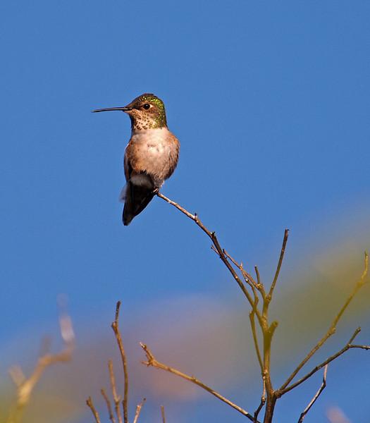 Anna's Hummingbird - 22 Jan 2011