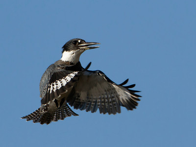 Belted Kingfisher male