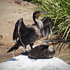 Cormorant Dance at Safari Park - 26 May 2010