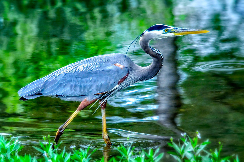 Blue Heron On Inks Lake