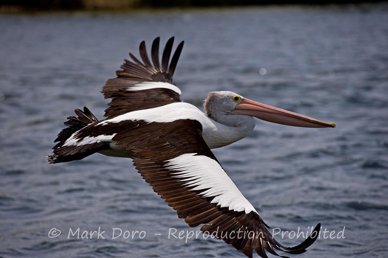 Pelican gliding, Tea Gardens, NSW