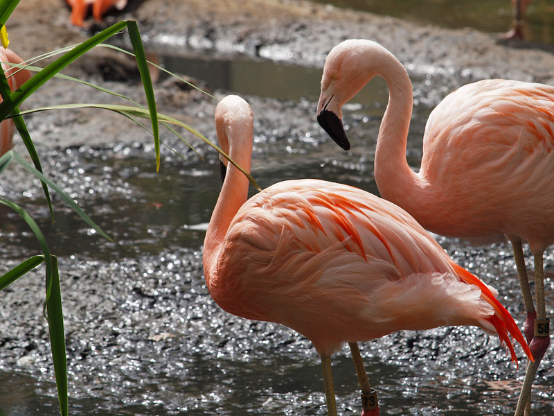 Greater Flamingos at Wild Animal Park - 11 Apr 2010