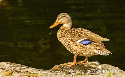 File-Ref 2013-08-29-Mallard Duck -5.NEF