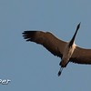 Demoiselle Crane in Flight