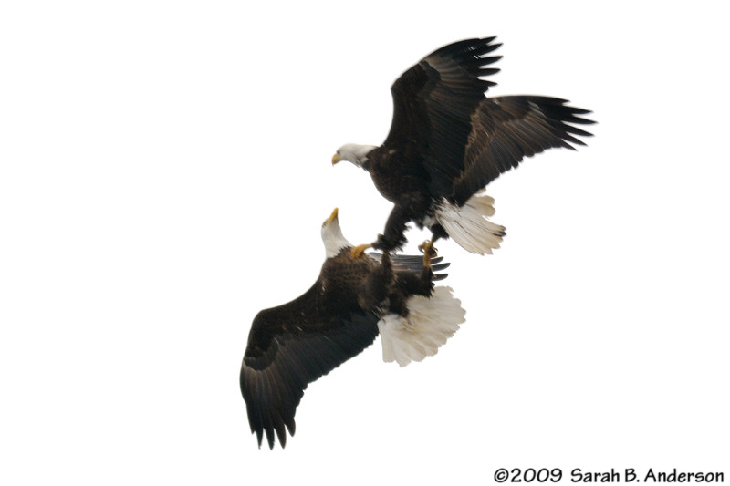 "Male Bald Eagles fighting,<br /> (the intruder aka ""dirty tail"" male is at top/right),<br /> If only the light had been better and the shot in focus!<br /> Potomac River, <br /> Alexandria, Virginia<br /> February 2009"