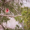 2018 February  House Finch  St. Louis