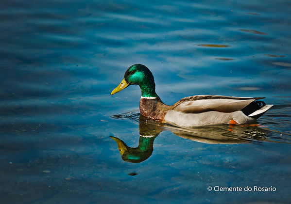 Male Mallard Drake Duck in Lake Ontario, Oakville, Ontario,Canada