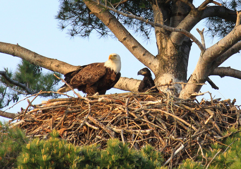 """  Eagle and Eaglet on the Nest  2 """